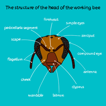 mandible: The structure of the head of the working bee. Beekeeping infographics.