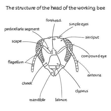 body scape: The structure of the head of the working bee. Beekeeping infographics.