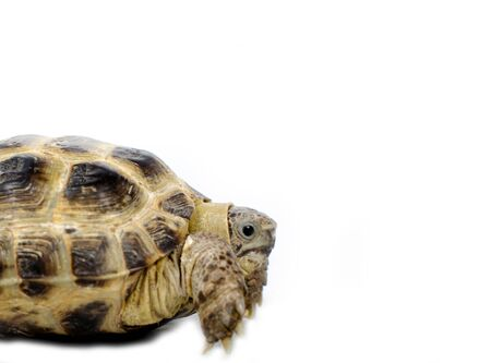 long lasting: Central Asian tortoise isolated on white background Stock Photo