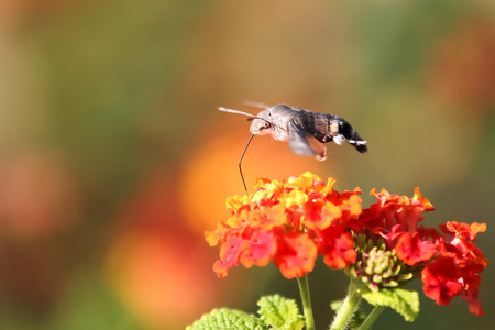Sfingidae enjoying the nectar of a flower photo