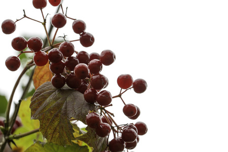 guelder rose: Guelder-rose ordinary on a branch of a tree