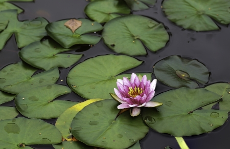 Waterlily in garden pond after a rain photo