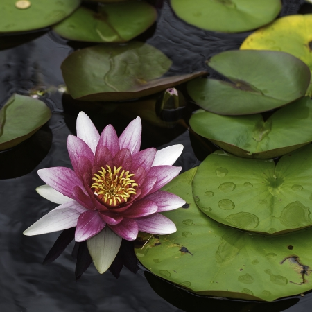 Waterlily en la charca del jard�n despu�s de una lluvia photo