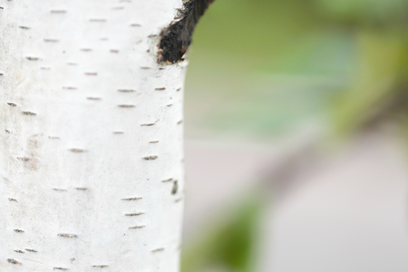 Photo of a bark of a birch in rainy weather photo