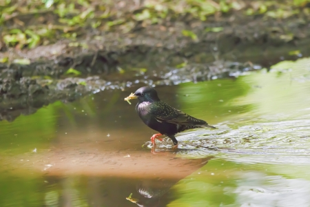 Blackbird in searches of meal photo