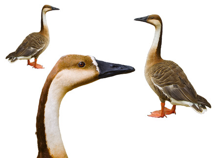 observant: Observant sight of the wild goose