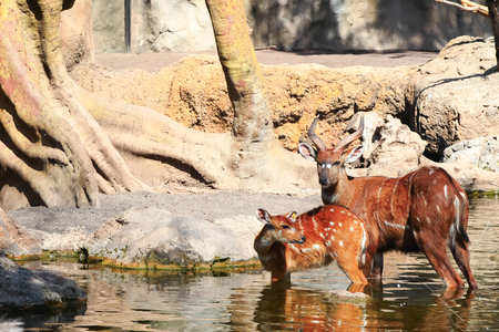 bongos: Bongo antelope, Tragelaphus drinks water Stock Photo