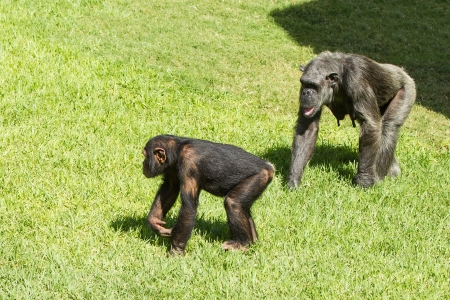 The chimpanzee freely walks on a grass photo