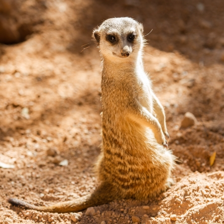 Wild meerkats  aka suricates , Karoo, South Africa photo