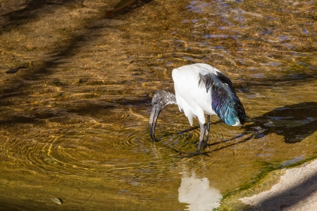 Sacred ibis  Threskiornis aethiopica  photo