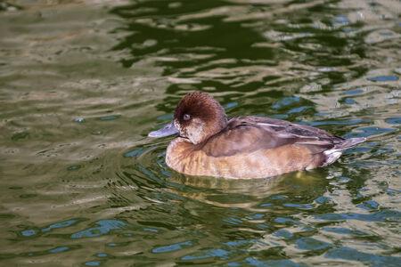 aythya ferina: Aythya ferina swims in pond