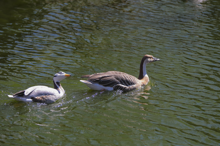 White and Brown Chinese Goose  Anser cygnoides  swimming in the lake photo