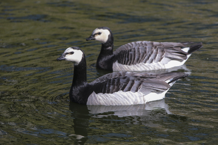 Barnacle Goose in  water. photo