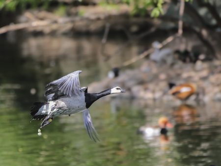 Barnacle Goose in flight over water. photo