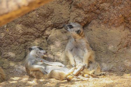 progeny: Meerkat or Suricate (Suricata suricatta) in wildlife Stock Photo