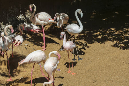 Greater Flamingo family (Phoenicopterus roseus) photo