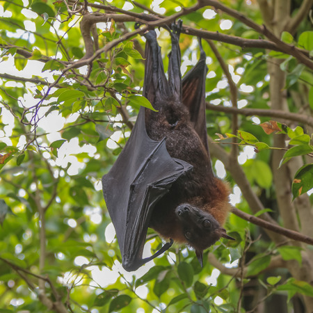 pteropus: Hanging head-down Flying Fox  Pteropus  on a tree branch