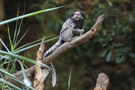 Black tufted-ear marmoset, Callithrix penicillata, Brazil,endangered
