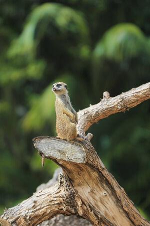 suricatta: Meerkat or Suricate (Suricata suricatta) in wildlife Stock Photo