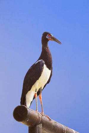 ciconiiformes: The Black Stork, Ciconia nigra is a large wading bird in the stork family Ciconiidae. It is a widespread, but rare, species that breeds in the warmer parts of Europe. Stock Photo
