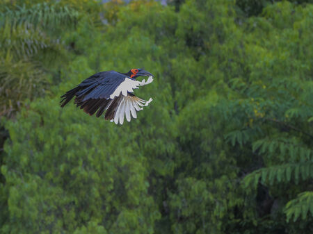 hornbill: Southern ground hornbill coming in for a landing
