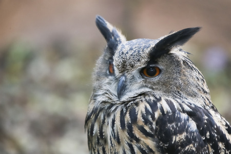 Profile portrait of night quiet prey bird eagle-owl or bubo with ear-tufts against blurred background photo
