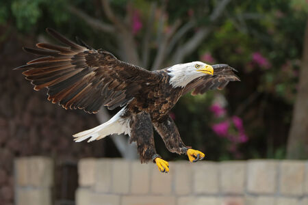 spreads: Bald Eagle spreads its wings in flight. Stock Photo