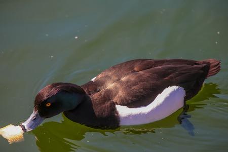 habitat: Wild duck in their natural habitat.