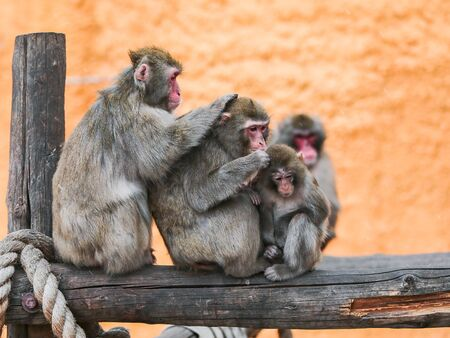 Family of the Japanese Macaque clean wool