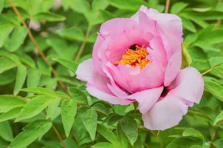 copyspace: Pink bloom Paeonia suffruticosa copy-space Stock Photo