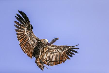 griffon: Griffon vulture in flight selective focus Stock Photo