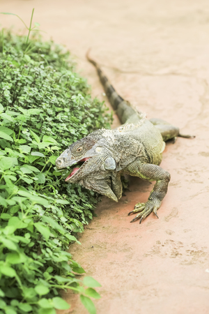 natural habitat: Iguana verde moves in natural habitat