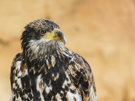 habitats: Portrait of a bird of prey in natural habitats Wednesday during the summer.
