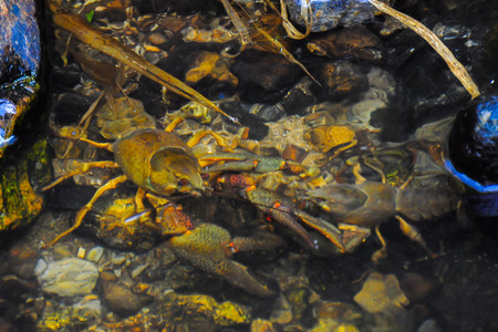 Two crayfish trying to overpower each other.