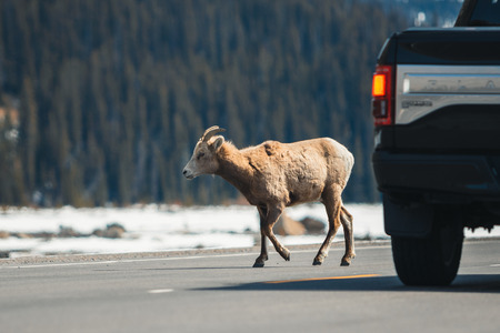 Mountain sheep crossing the main road, Icefields Parkway, Jasper National Park, Travel Alberta, Canadian Rockies, wildlife, Canada, holiday, experience. 免版税图像