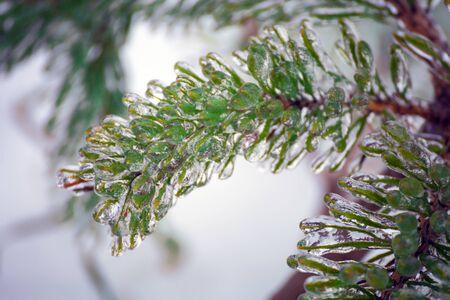 bark rain tree: Spruce, pine needles. Tree in ice. Freezing rain.