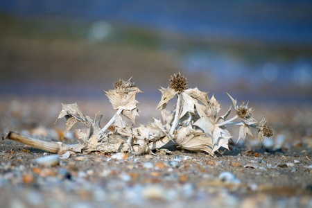 spines: Prickly branch on the shore of the Azov Sea. The spines and thorns. Stock Photo