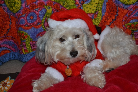 suite: dog wearing santa suite