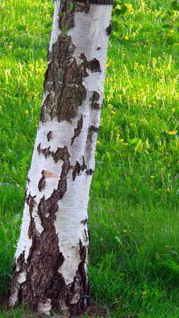Birch tree in closeup photo