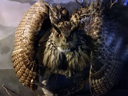 Magnificent looking great horned owl