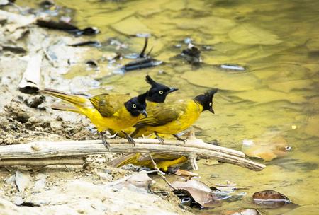 going places: Yellow bird Black-crested Bulbul , bird of Thailand