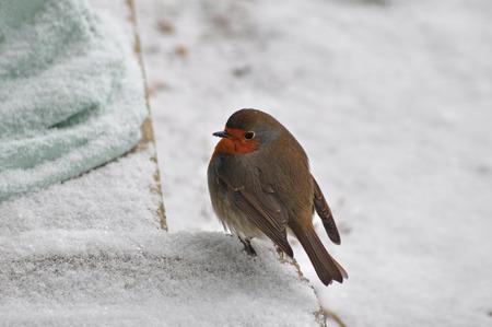 robin: little snow robin Stock Photo