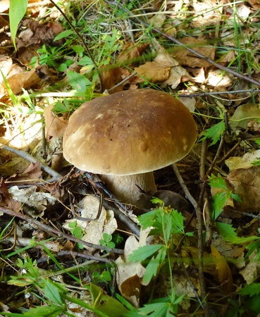 Mashroom (boletus edulis) grows in plant litter