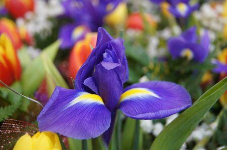 blueflag: Bandera azul rodeada de otras flores