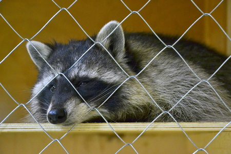 Sleeping raccoon