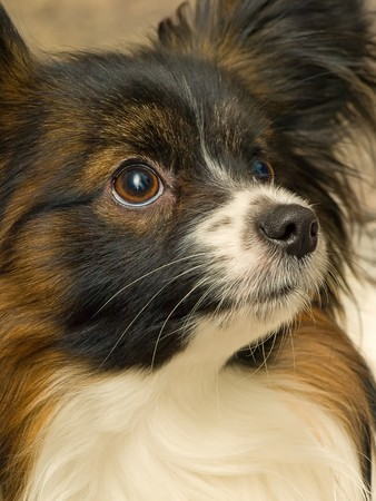 Nice Papillon Or Continental Toy Spaniel Close Up Portrait photo