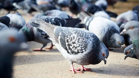Flock of gray doves with orange eyes looking for food in street selective focus.