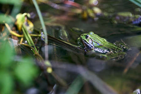 Edible frog, Pelophylax esculentus also known as common water frog or green frog, European dark-spotted, European black-spotted pond frog, and European black-spotted frog.