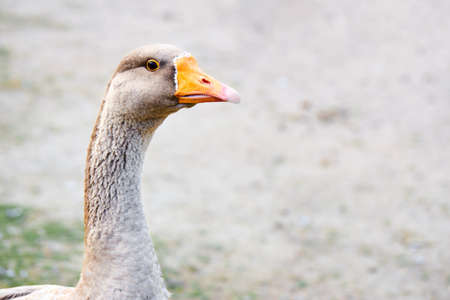 Gray goose, anser anser head neck and upper body selective focus closeup over out of focus background with copyspace profile shot.