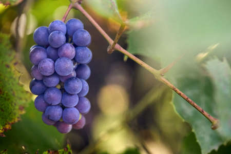 Black grape branch at farm, red vine selective focus. Red wine grapes branch with foliage. Vineyards at sunset. Grape harvest in fall, vineyard. Floral background with copyspace. Standard-Bild